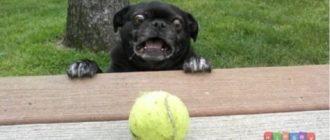 sobaki 1 63 330x140 - Смешные и веселые фото с собаками
