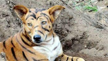 Фермер из Индии перекрасил своего пса в тигра, что отпугнуть наглых обезьян